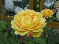 Rosa    'Golden Celebration'  róża roślina
