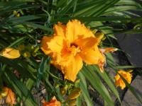 Denivka (Hemerocallis)
