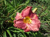 (Hemerocallis) Denivka