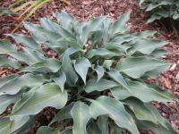 Hosta 'Rhythm and Blues'  funkia roślina