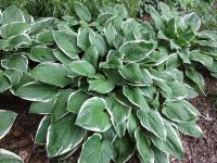 Hosta  'Green Gold' - funkia