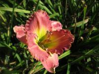 Denivka Chance Encounter (Hemerocallis hybrida)