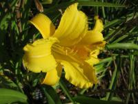 Denivka Lemon Crisp (Hemerocallis hybrida)