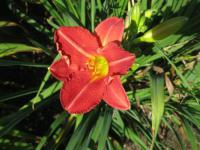 Denivka Little Red Hen (Hemerocallis hybrida)
