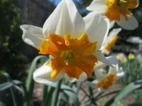 Narcis Parissienne - Collar narcisy (Narcissus x hybridus)