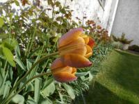 Tulipa  'Brown Sugar' - tulipan