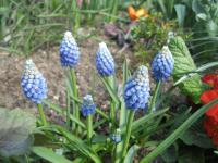 Muscari aucheri  'Ocean Magic'  szafirek Auchera roślina