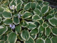 funkia Hosta  'Mildred Seaver'