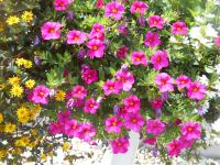 Calibrachoa  'Celebration Rose' - kalibrachoa