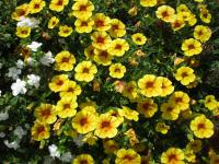 kalibrachoa Calibrachoa  'Calita Yellow Red Morn'