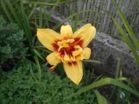 Denivka Double Happines (Hemerocallis hybrida)