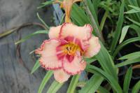Denivka New Quest (Hemerocallis hybrida)