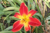 Denivka 'All American Chief' (Hemerocallis hybrida)