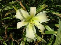 Denivka Heavenly White Lightening (Hemerocallis hybrida)