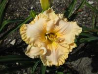 Denivka 'Sweet Apricot Honey' (Hemerocallis hybrida)