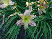 Denivka Prague Spring (Hemerocallis hybrida)