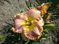 (Hemerocallis hybrida) Denivka Spacecoast Southern Belle