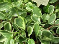 Pepřinec (Peperomia scandens)