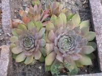 Sempervivum hybridum  'Bottle of Griotte' - rojnik ogrodowy