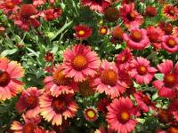 gailardia oścista Gaillardia aristata  'Arizona Red Shades'