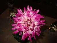 Dahlia 'Who Dun It'  dalia kwiaty