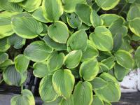 Bohyška Abiqua Moonbeam (Hosta)