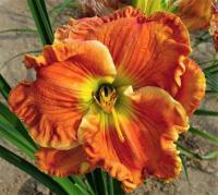 Denivka Texas Big Bend (Hemerocallis hybrida)