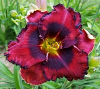 liliowiec ogrodowy Hemerocallis  'The Band Playet On'