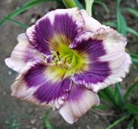 Hemerocallis  'Yesterday Today Tomorrow' - liliowiec ogrodowy