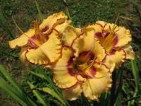 Denivka Canyon Colors (Hemerocallis hybrida)