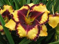 (Hemerocallis hybrida) Denivka Open My Eyes