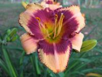 (Hemerocallis hybrida) Denivka Pirate's Patch