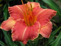 (Hemerocallis hybrida) Denivka Pretty Fancy