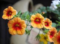 Kalibrachoa 'Million Bells' (Calibrachoa)