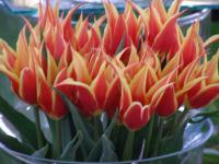 Tulipa  'Aladdins Record' - tulipan