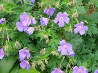 Kakost Johnsons Blue (Geranium)