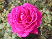 Růže 'Big Purple' (Rosa)