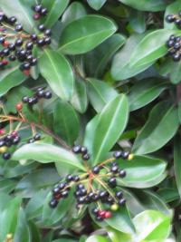 Marlberry - fruit (Ardisia escallonioides)