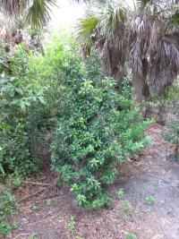 Marlberry - habit (Ardisia escallonioides)