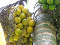 Betel palm - fruit (Areca catechu)