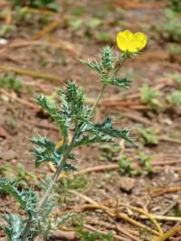 Mexican poppy - flowering habit (Argemone mexicana)