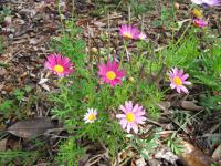 Paris daisy - flowering habit (Argyranthemum frutescens)