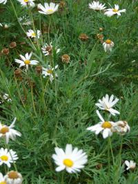 Paris daisy - flowers and leaves (Argyranthemum frutescens)