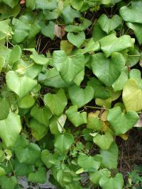 Calico flower - leaves (Aristolochia littoralis)
