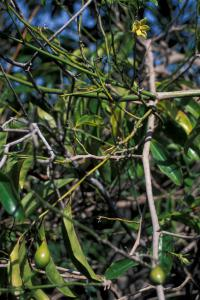 (Artabotrys hexapetalus) Climbing ylang-ylang - leaves, flowers, fruit