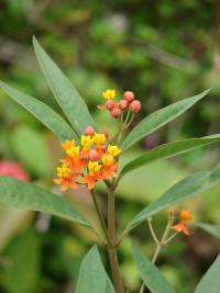 Bloodflower - flowers and leaves (Asclepias curassavica)