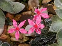 Graptopetalum (Graptopetalum bellum)