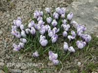Crocus vernus  'Striped Beauty' - szafran wiosenny