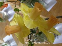 Narcissus  'American Heritage' - narcyz