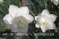 Narcissus 'Androcles'  narcyz kwiaty